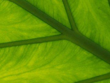 เซลลูโลส (Cellulose) โครงสร้างหลักที่สำคัญของผนังเซลล์พืช คืออะไร?
