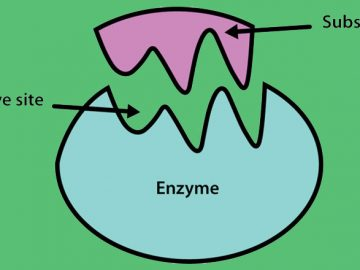 เอ็นไซม์ (Enzyme) กลุ่มโปรตีนเพื่อเร่งปฏิกิริยาทางชีวเคมี ที่เกิดขึ้นภายในเซลล์